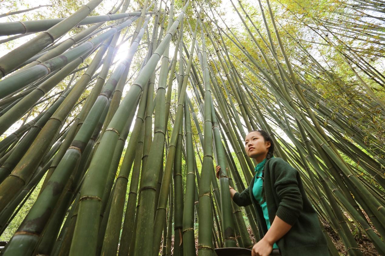 C:\Users\litianyu.lty\Desktop\杨昌芹\杨昌芹\2018年5月6日,在贵州省赤水市大同镇,杨昌芹在山上查看制作竹编所需的竹子。王长育 摄.JPG