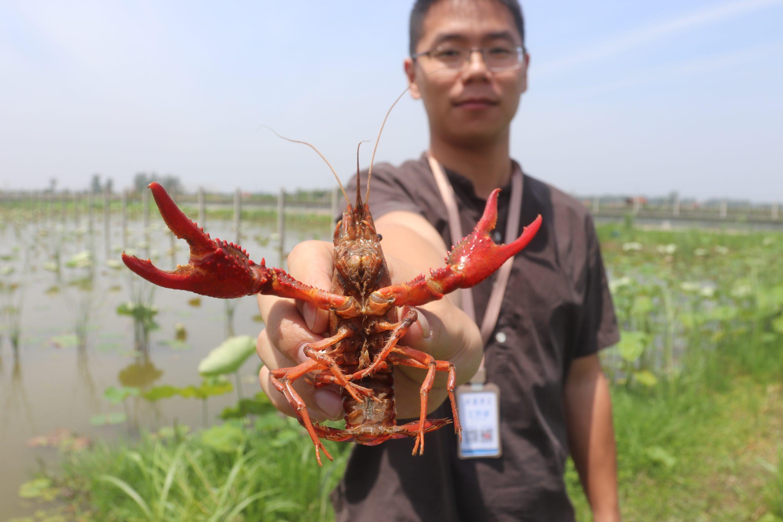 阿里巴巴10亿小龙虾订单,能给湖北农民带来什么